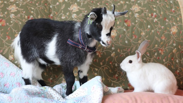 goat and rabbit