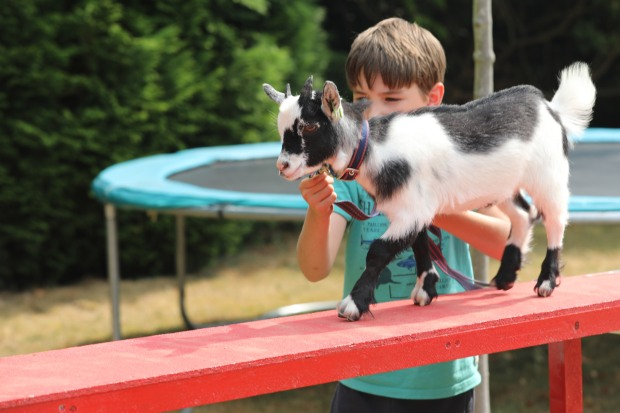 goat agility